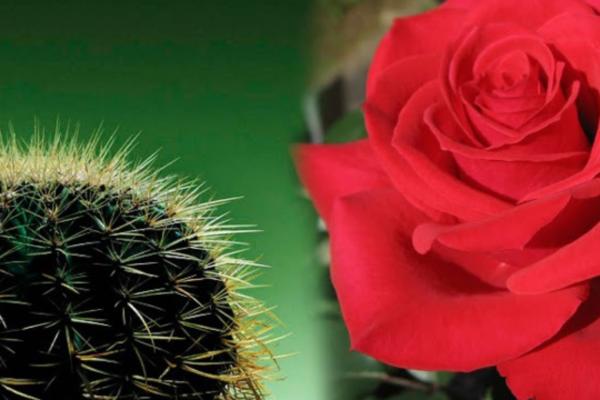 Una rosa y un cactus